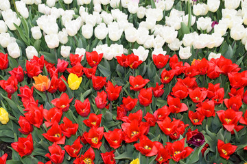 Photo sur Aluminium Rouge Flower bed with colorful tulips: red and white. Bright fresh flowers and green leaves. Spring nature background for card design or web banner. Beautiful bouquet.