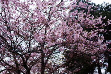 Cherry tree full of pink bloom on a cloudy day