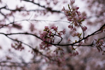 Cherry Flowers on a diffused background. Selective Focus.