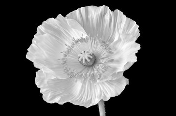 Floral fine art still life monochrome high key macro of a single isolated satin/silk poppy blossom with stem isolated on black background with detailed texture in surrealistic vintage painting style