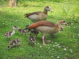 Egyptian geese (Alopochen aegyptiaca) with young at Bethmann Park, Frankfurt am Main