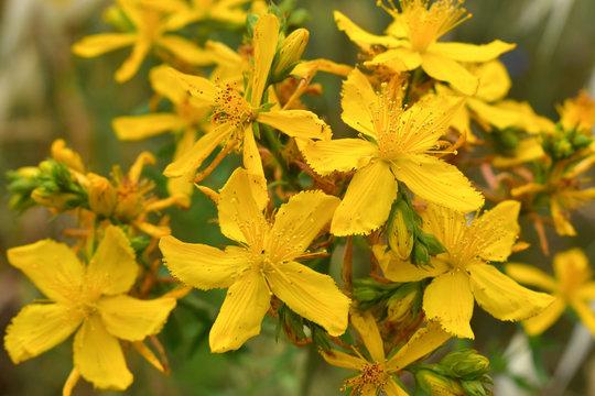 St. John Wort flower