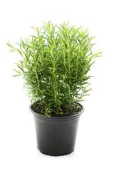 Rosemary herb flowerpot on white isolated background