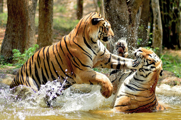 Royal bengal tigers fighting in water