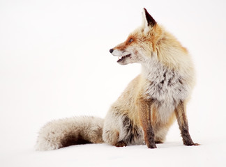 Image of a wild fox in winter natural habitat