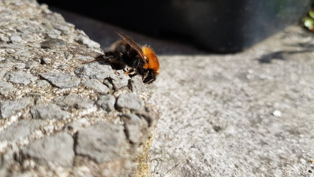 A large bee holding onto a concert slab.