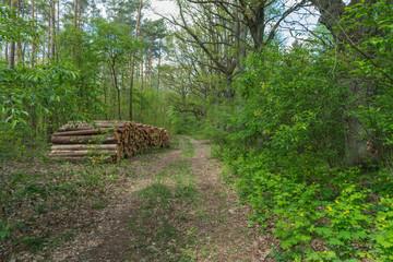 Fototapeta Liściasty las wiosną. obraz