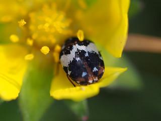 Teppichkäfer an Blüte des Gänsefingerkrautes