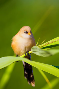 Cute little bird. Yellow nature background. Bearded Reedling / Panurus biarmicus