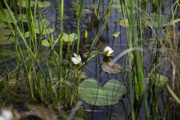 Two wild blooming white waterlily flowers floating in natural black water with lily pads, seen through a foreground of reeds