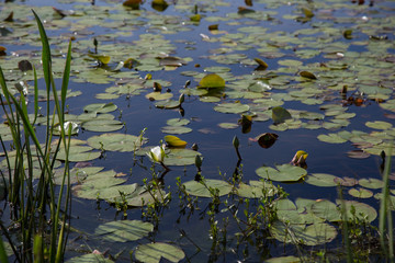 One budding white waterlily flower blooming in a sunlit dark pond with lily pads and other aquatic plants
