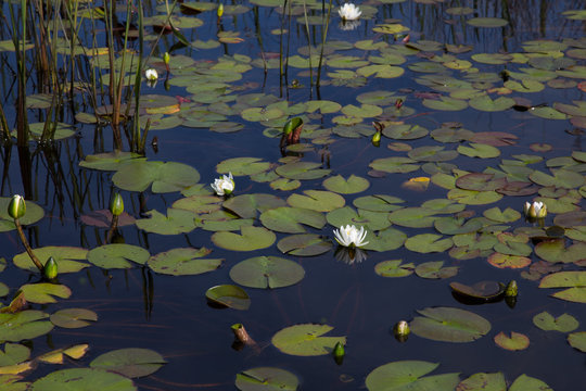 American white waterlilies blooming natural and wild in dark black reflective water with reeds and lily pads