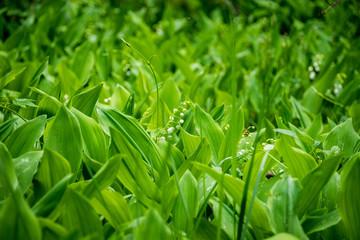 Poster de jardin Muguet de mai Lily of the valley in the forest. Closeup of lily of the valley in the forest