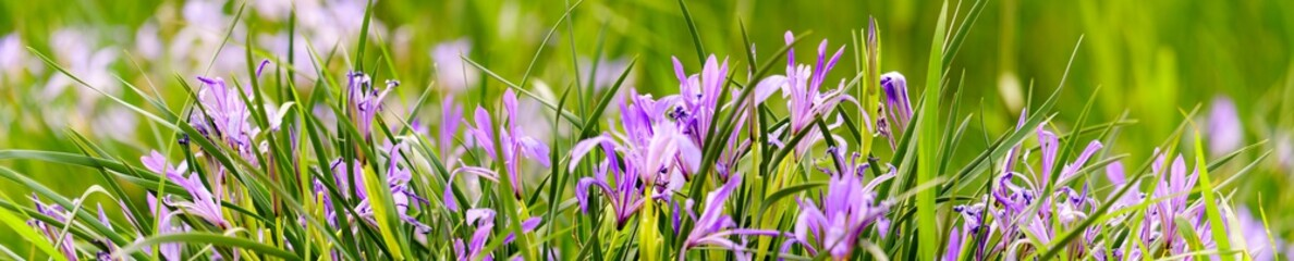 Tuinposter Iris Panorama view of iris on green color bokeh background