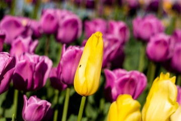 Yellow Tulip Flower with small bug fly on it and blurred purple and yellow and green background