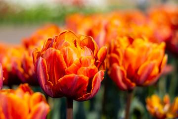 Orange Double Tulip Flower with blurred background horizontal