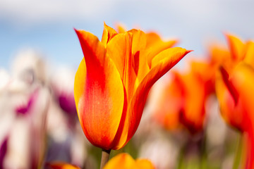 Orange and Red Tulip Flower with blurred background horizontal