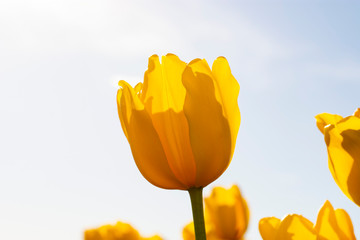 Yellow Tulip Flowers with backlit blue sky background