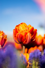 Orange Double Tulip Flower with blurred background Vertical blue flowers in foreground blue sky 2