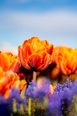 Orange Double Tulip Flower with blurred background Vertical blue flowers in foreground 2