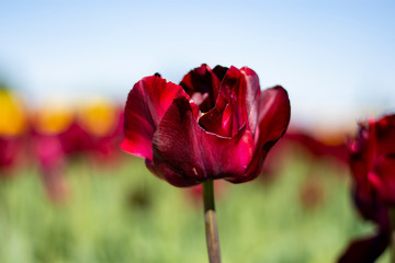 Dark wine red Tulip Flower with blurred yellow, green, red, and blue sky background horizontal