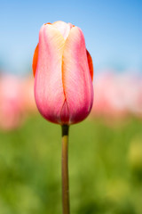 Pink tulip flower with pink, green, and blue sky blurred background