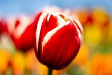 Red and white tulip flower with orange, green, and blue blurred background
