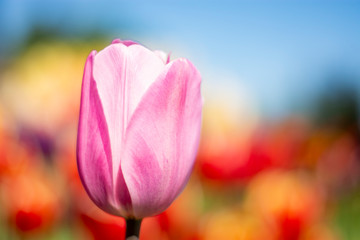 Pink Tulip Flower with red, orange, yellow, blue, green blurred background horizontal