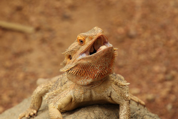 Open Mouthed Bearded Dragon