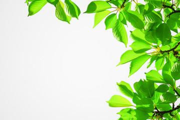 Leaf and branch frame.  white background. 葉と枝の枠 白背景、白色背景