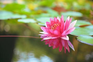 Fond de hotte en verre imprimé Nénuphars beautiful lotus flower on the water after rain in garden with bokeh.