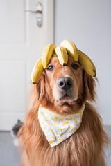 Golden retriever head with banana on top