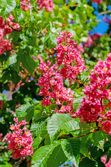 Fleischrote Rosskastanie, Aesculus rubicunda, Blüten