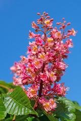 Blüten der Fleischroten Rosskastanie vor blauem Himmel