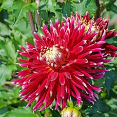 Dahlienblüte in einer Nahaufnahme