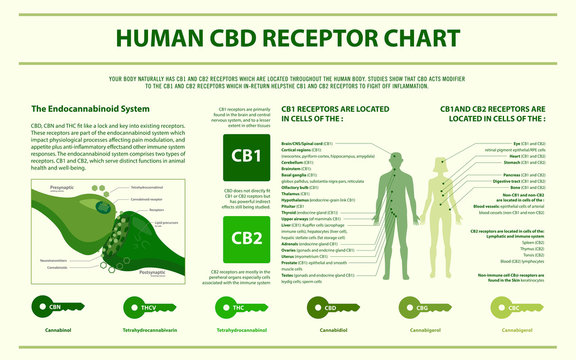 Human CBD Receptor Chart - Endocannabinoid System horizontal infographic illustration about cannabis as herbal alternative medicine and chemical therapy, healthcare and medical science vector.