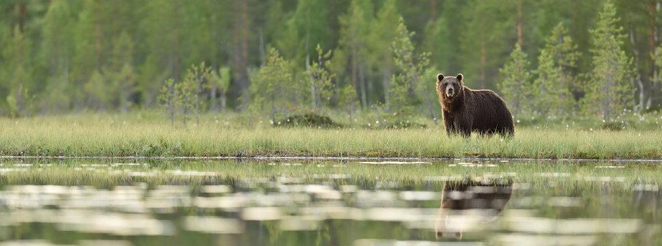 Brown bear panorama in bog. Panoramic view of brown bear in bog at summer.
