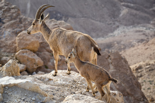 Ibex on the cliff at Ramon Crater in Negev Desert in Mitzpe Ramon, Israel