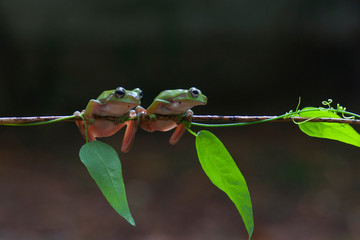 macro closeup of two green forest tree frog hanging on a branch