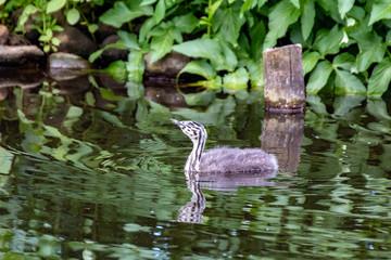 Junger Haubentaucher schwimmt auf der Alster