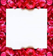 square white background with a frame of rose pétals