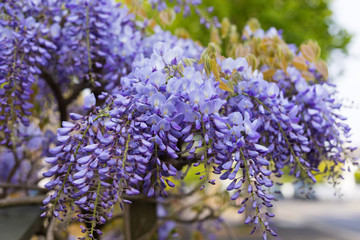 Wall Murals Lilac Beautiful View of Blooming Lilac Wisteria Tree on Street. Concept: Season of Spring Flowers.