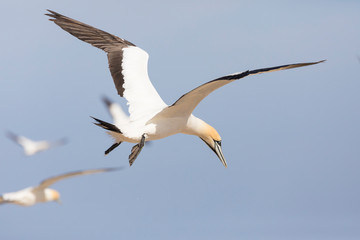Cape Gannet, Morus capensis, flying at Birds Island, Lamberts Bay, South Africa. Vulnerable species