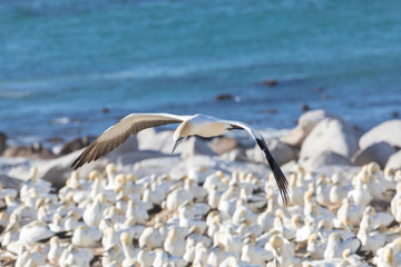 Cape Gannet, Morus capensis, flying over the breeding colony at Birds Island, Lamberts Bay