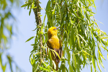 Male Cape Weaver (Ploceus capensis) building anest in a weeping willow tree overhanging a dam in spring. Bright yellow breeding plumage, colours