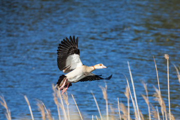 Egyptian goose, Alopochen aegyptiaca, flying in to land amongst reeds on a river bank at sunrise with outstretched wings