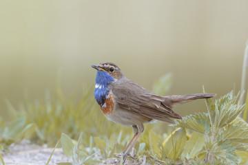 Fototapeta Ptak, podróżniczek