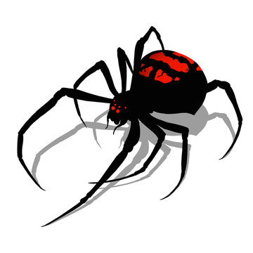 Black widow spider on white background realistic illustration isolate flat design. Black widow spider killer is the most dangerous and poisonous spider.