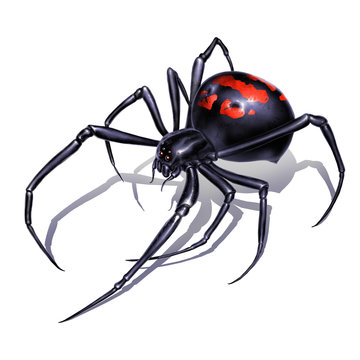 Black widow spider on white background realistic illustration isolate. Black widow spider killer is the most dangerous and poisonous spider.