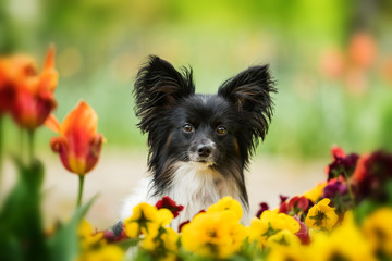 Papillon dog sitting between spring flowers